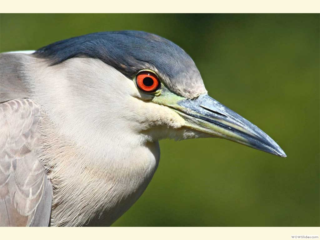 Night Heron 2011