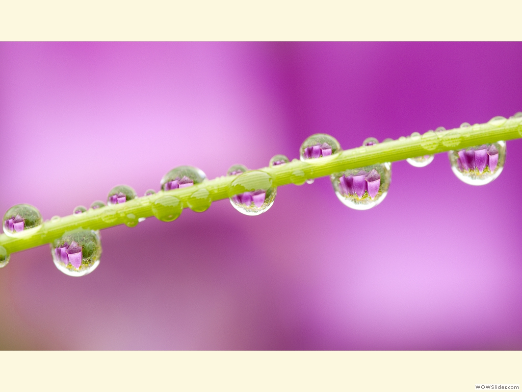 Foxglove in waterdrops