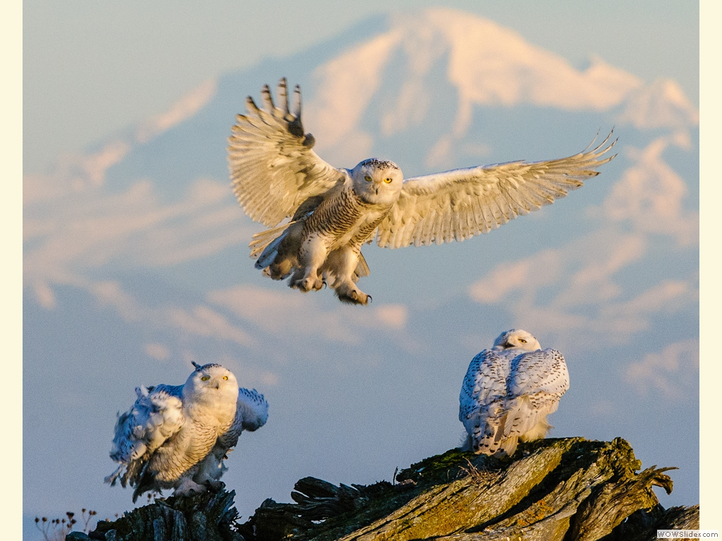 Snowy Owl & Mt. Baker Sunset